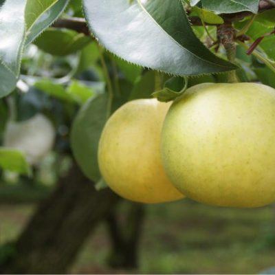 奈良県プレミアムセレクト認定 樹上完熟 二十世紀梨(1個入り)